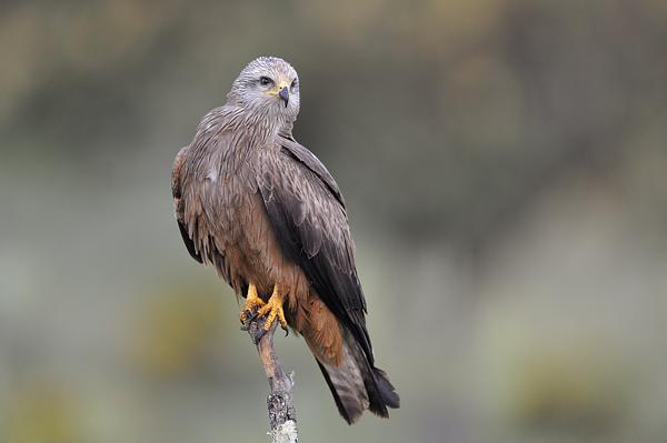 Roofvogels Extremadura, Westelijk Spanje