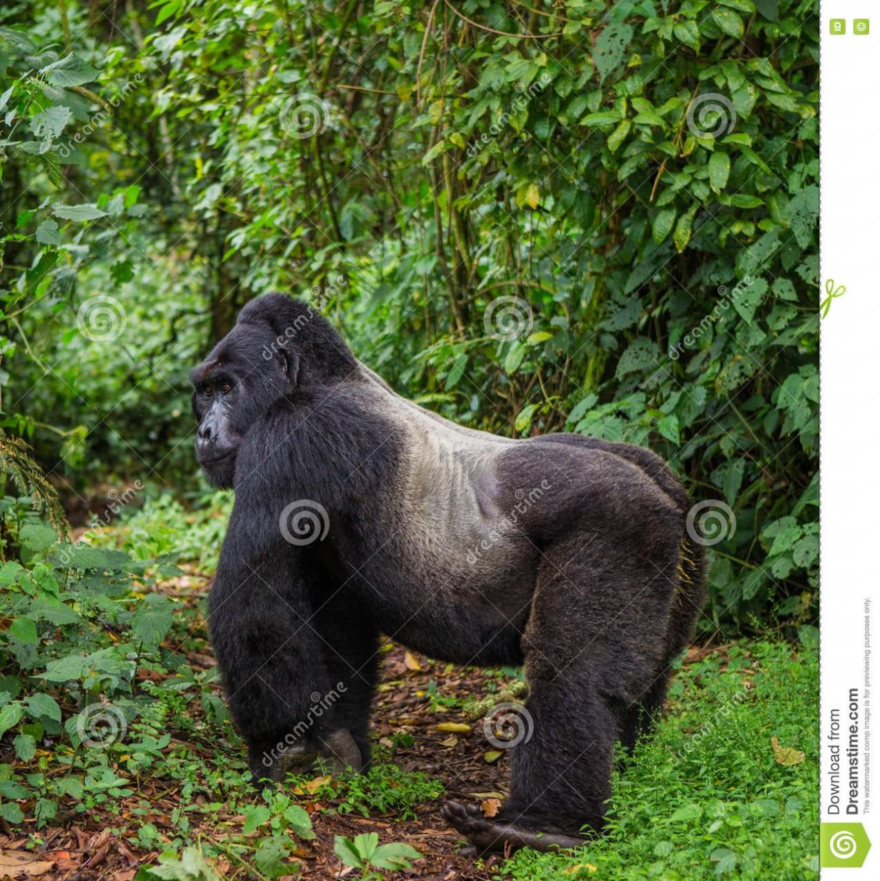 dominierender-mnnlicher-berggorilla-im-regenwald-uganda-bwindi-undurchdringlicher-forest-national-park-78388678