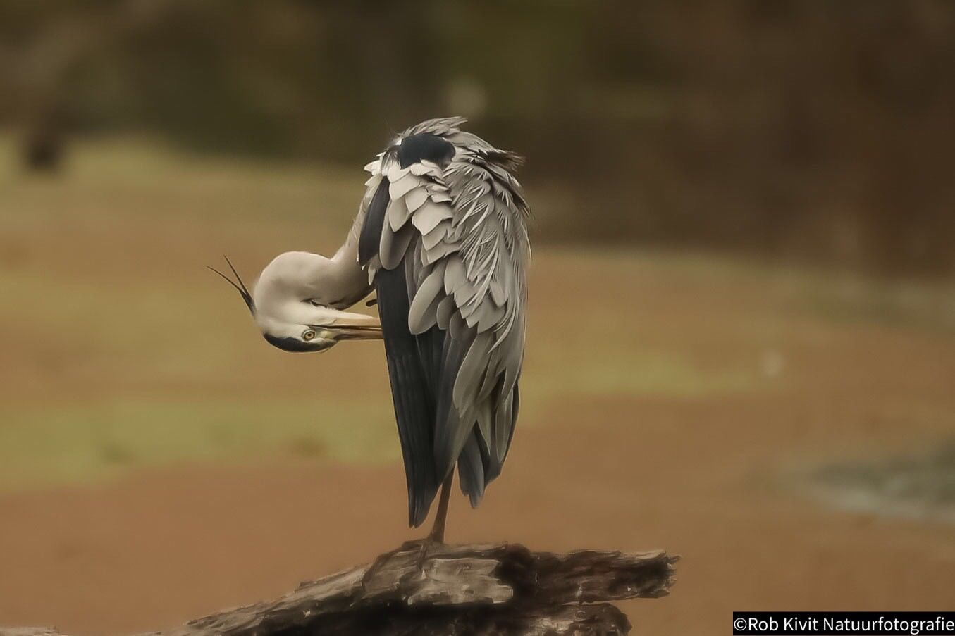 Great blue heron (Blauwe reiger)