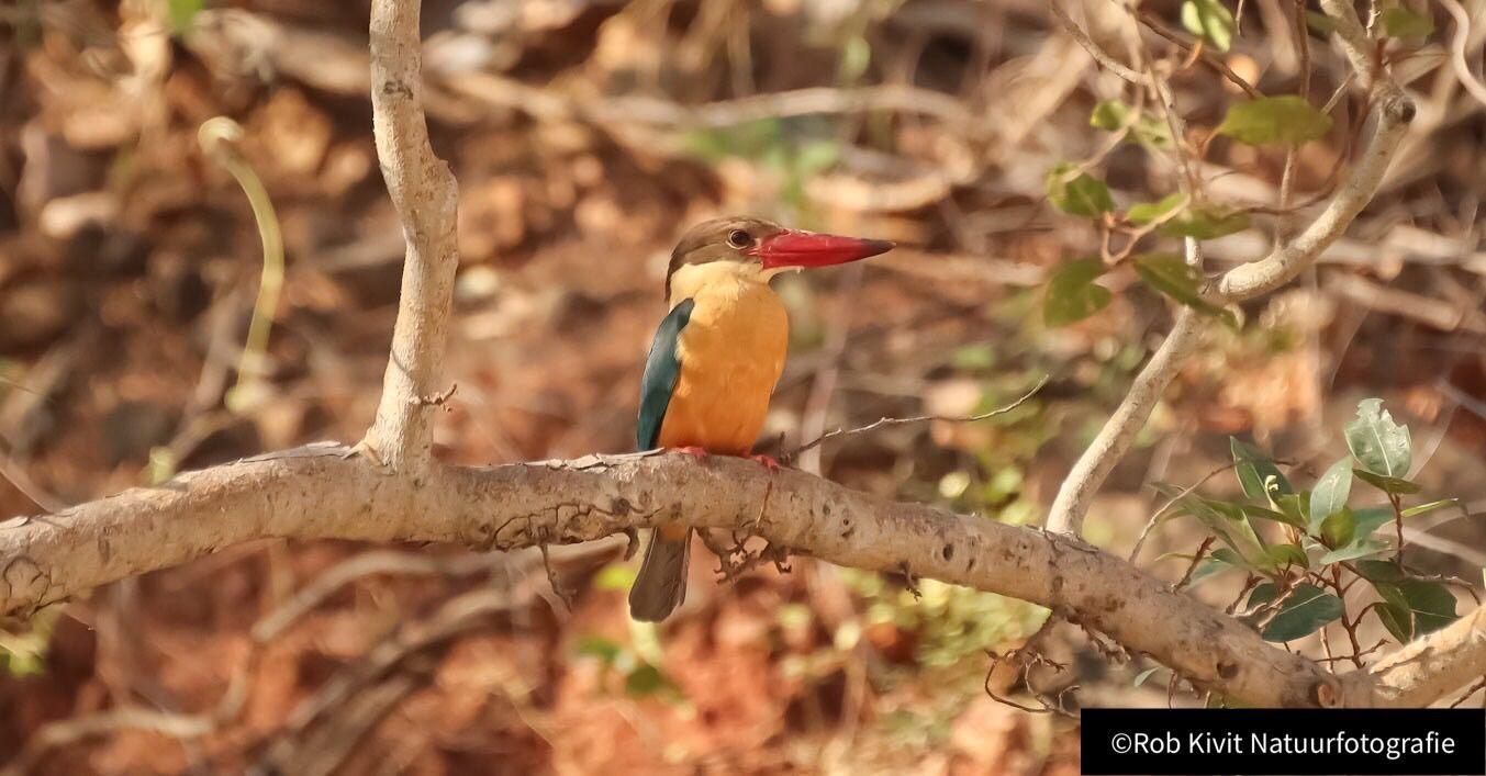Stork-billed kingfisher (Ooievaarsbekijsvogel)