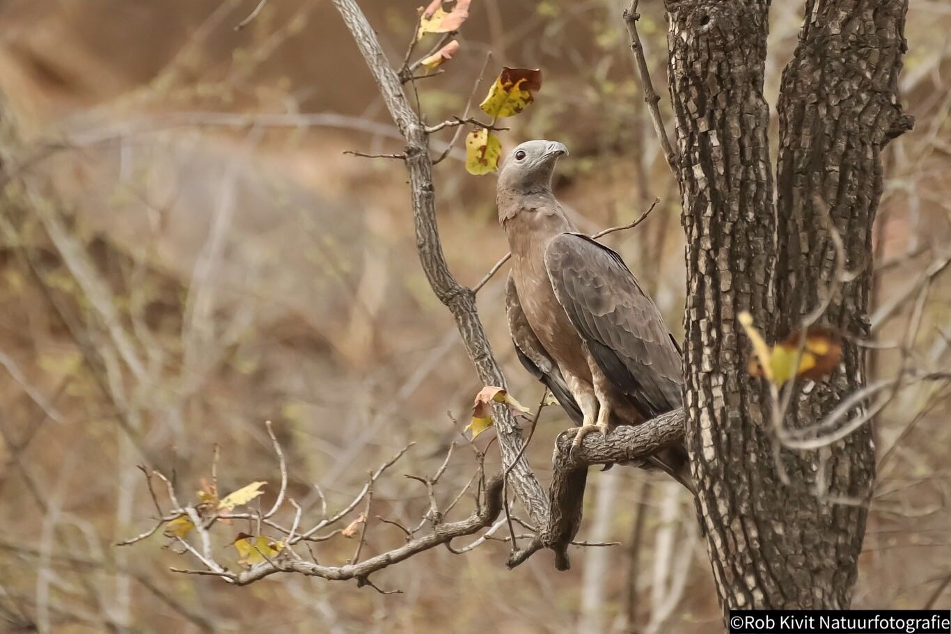 Aziatische wespendief (Crested honey buzzard)