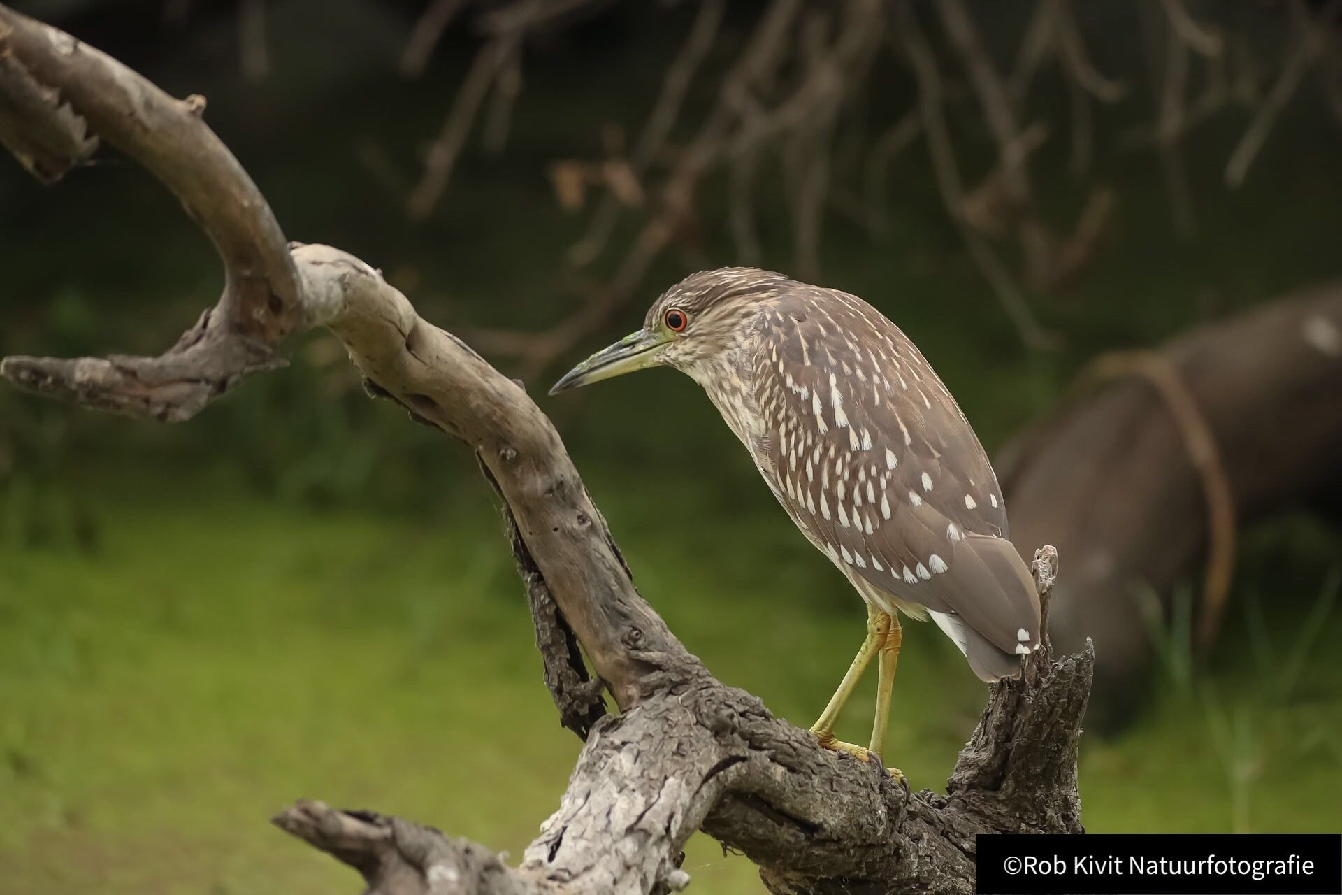 Black-crowned night heron (Kwak)