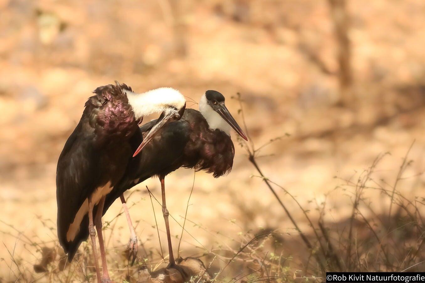 Woolly-necked stork (Bisschopsooievaar)