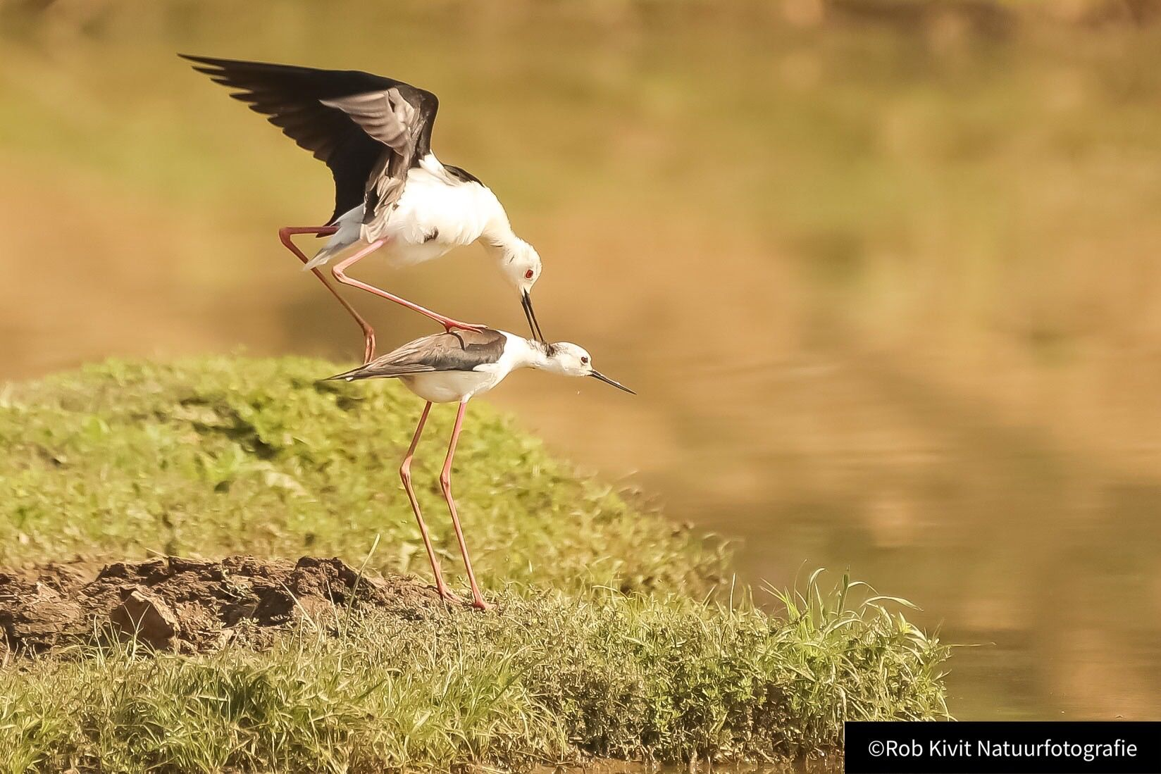 Black-winged stilt (Steltkluut)