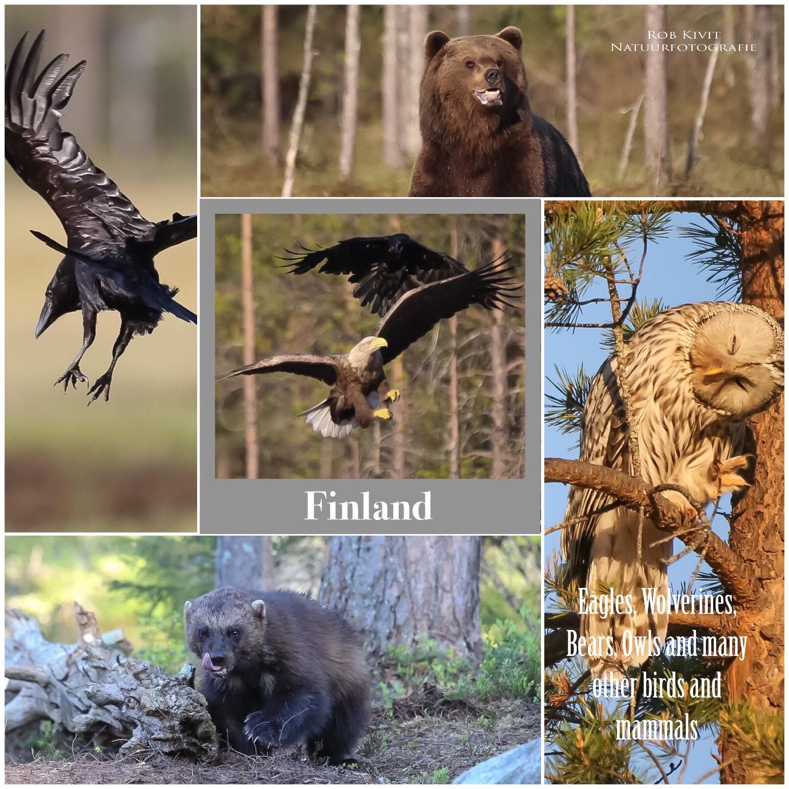Impressie fotoreis Finland; beren, wolven, veelvraten, steenarenden en uilen