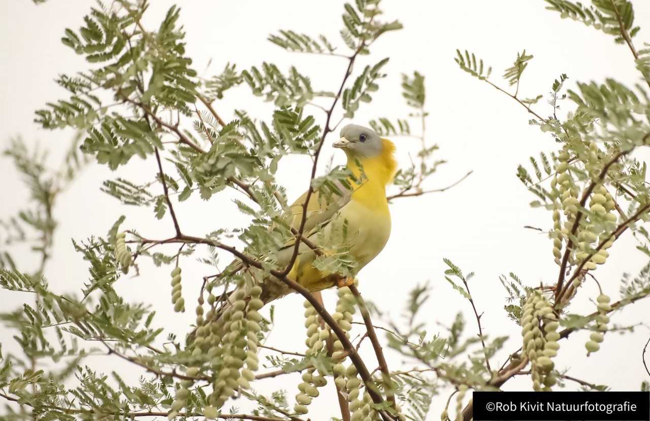 Yellow-footed green pigeon (Geelpootpapegaaiduif)