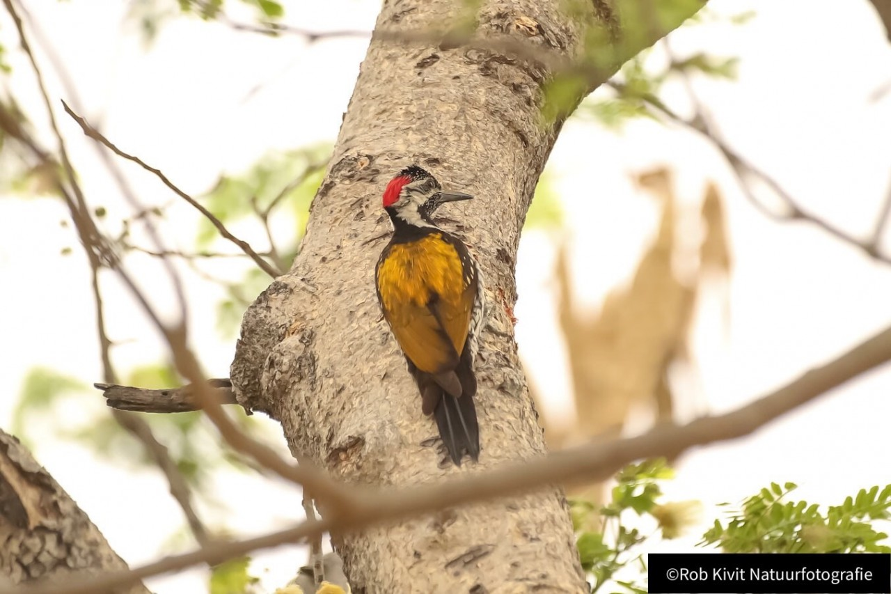 Black-rumped flameback (lesser golden-backed woodpecker)