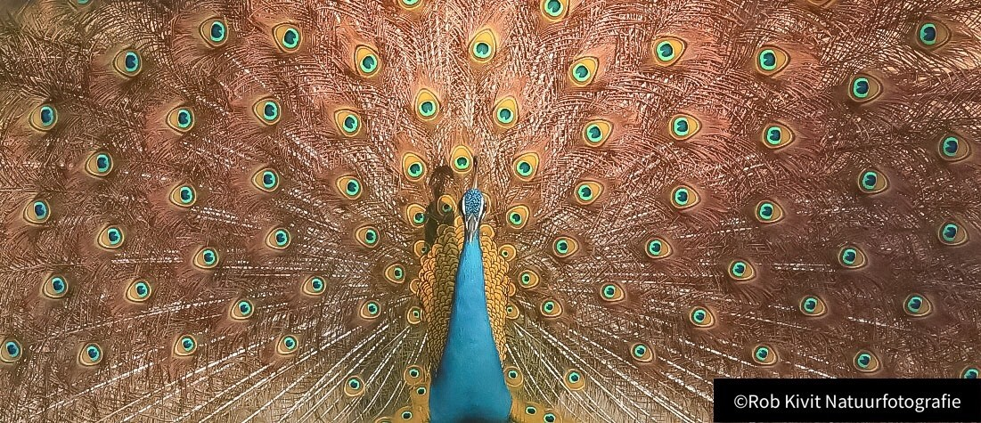 Indian peafowl (blue peafow)