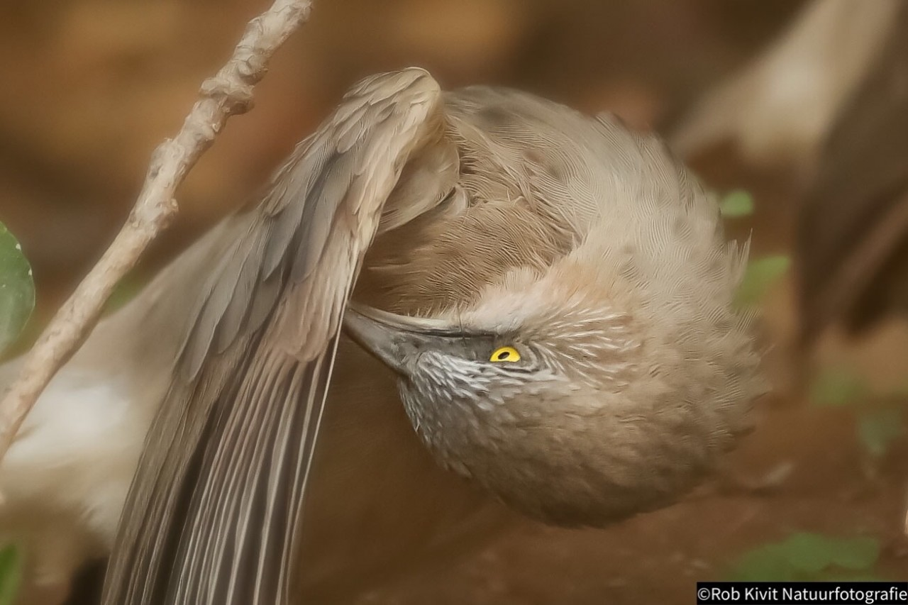 Large grey babbler (Malcolms babbelaar)